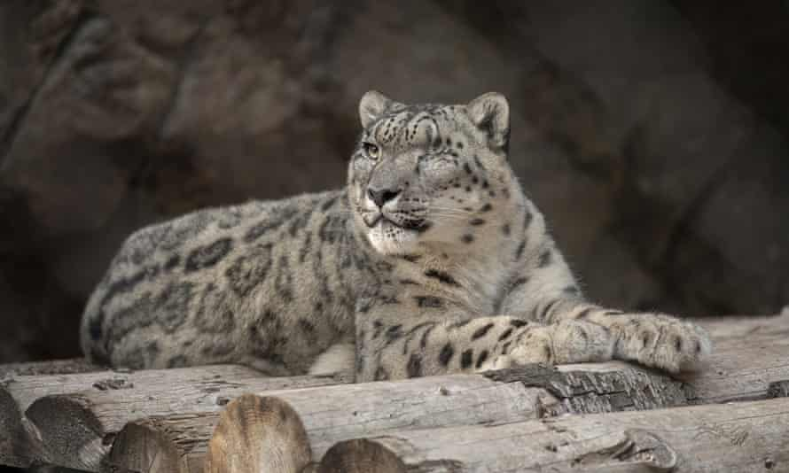 San Diego zoo's male snow leopard Ramil has tested positive for Covid-19.