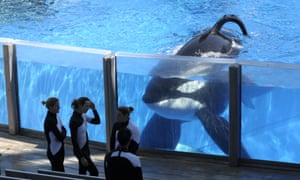Tilikum (pictured in 2011) has been at SeaWorld Orlando for 23 years. In 2010 he was responsible for the death of trainer Dawn Brancheau.