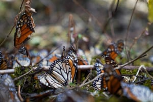 Dead monarch butterflies litter the ground at El Rosario sanctuary, in Michoacan state, Mexico. The number of monarch butterflies that reached their winter resting grounds in central Mexico decreased by about 26% this year, as four times as many trees as usual were lost to illegal logging, drought and other causes.
