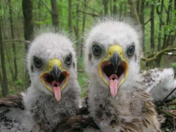 Baby spotted eagle in Chernobyl exclusion zone