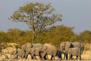 African bush elephants head for a pond in Etosha national park, Namibia