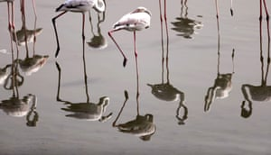 Pink flamingos feed at the Ras al-Khor wildlife sanctuary on the outskirts of Dubai, in the United Arab Emirates.