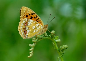 The high brown fritillary is perhaps the UK's most threatened butterfly. A reduction in the appropriate grazing of bracken-dominated habitats has contributed to its decline