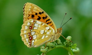 The high brown fritillary butterfly is among the species deemed most important and threatened.