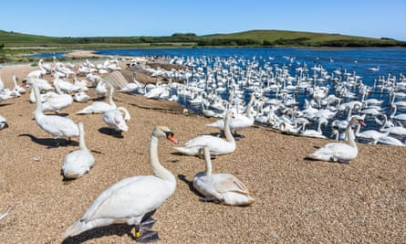 Mute swans (Cygnus olor) at Abbotsbury Swannery on the Fleet lagoon, Dorset, south-west England on a sunny summer day