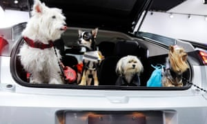 Dogs are pictured in the hatch back of a car