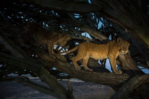 A lion in a Euphorbia candelabrum tree, one of the most poisonous trees in Africa