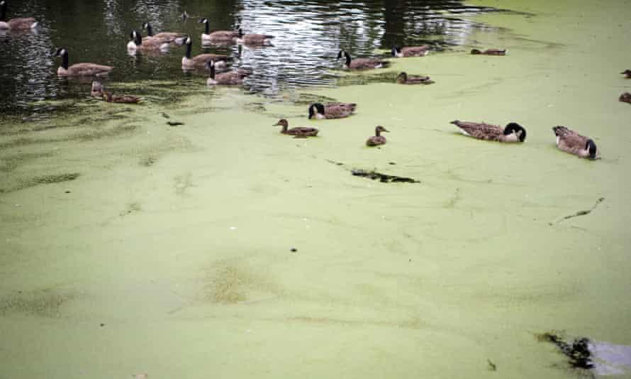 Algae on a lake