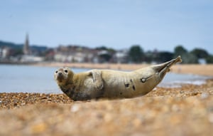 Weymouth, England A seal nicknamed Sammy appears on Preston beach. The animal is being watched over by volunteers who check on him regularly to make sure beachgoers are keeping their distance