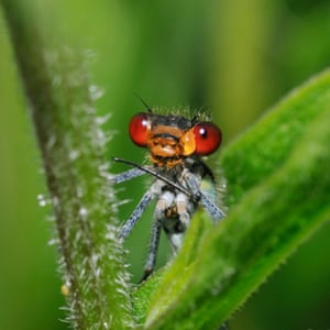 Red-eyed damselfly.