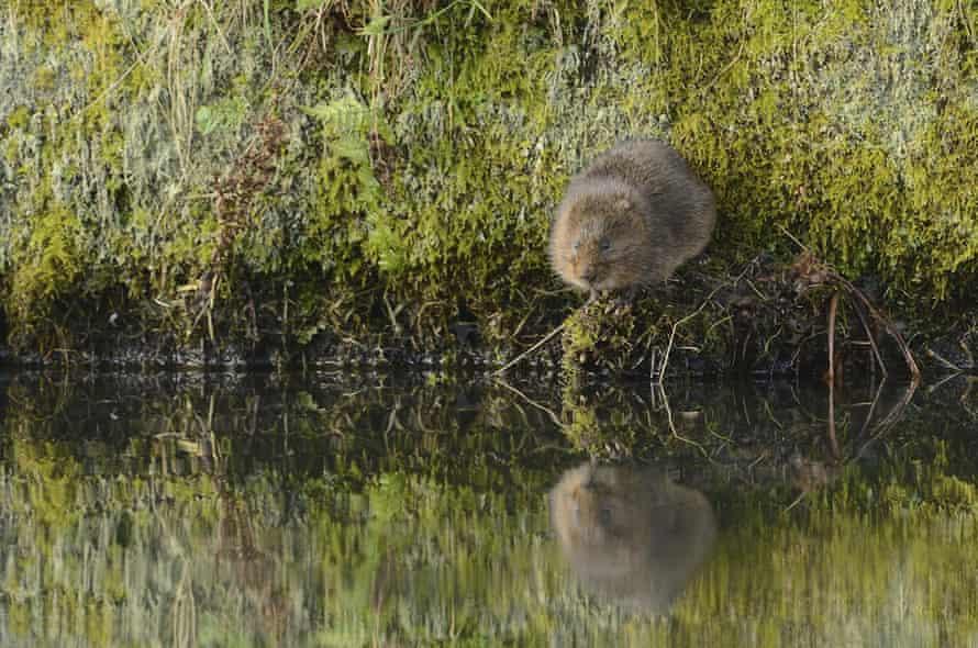 Water vole Arvicola terrestris, sitting on rock near to water, Derbyshire, England, March