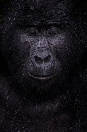 mountain gorilla with closed eyes