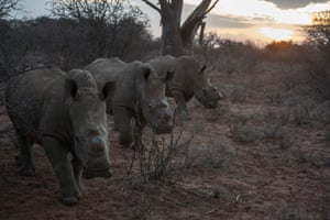 Dehorned rhino in Kuduland Reserve in South Africa