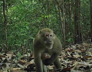 Assam macaque: The illegal wildlife trade, logging, the expansion of commercial agriculture, and dams all threaten Myanmar's biodiversity.