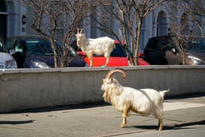 A low urban wall is no problem for this mountain goat