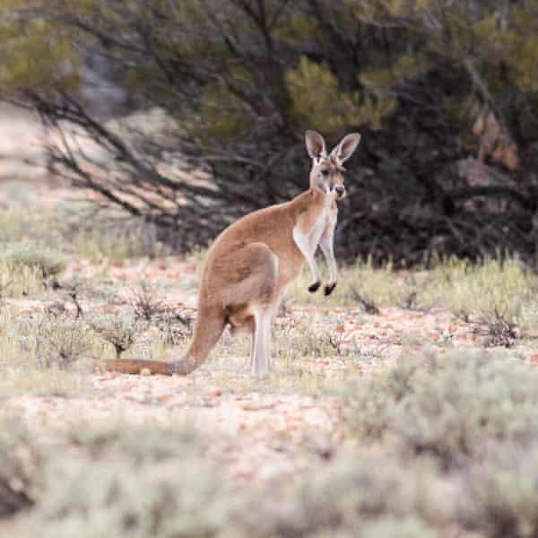 A kangaroo on the property