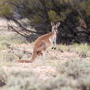 A kangaroo on the property. Photograph: Kelly Barnes/The Guardian