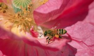 A honeybee collects pollen on a flower