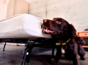 Magnac-Laval, France: Nova, a 15-month-old working cocker spaniel, looks for bed bugs during training in a former military compound
