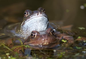 A male frog embraces a female