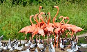 Flamingos at Slimbridge Wetland Center