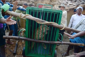 Indian villagers and forest officials use a cage to carry a leopard that was caught in Dalapur village near Allahabad