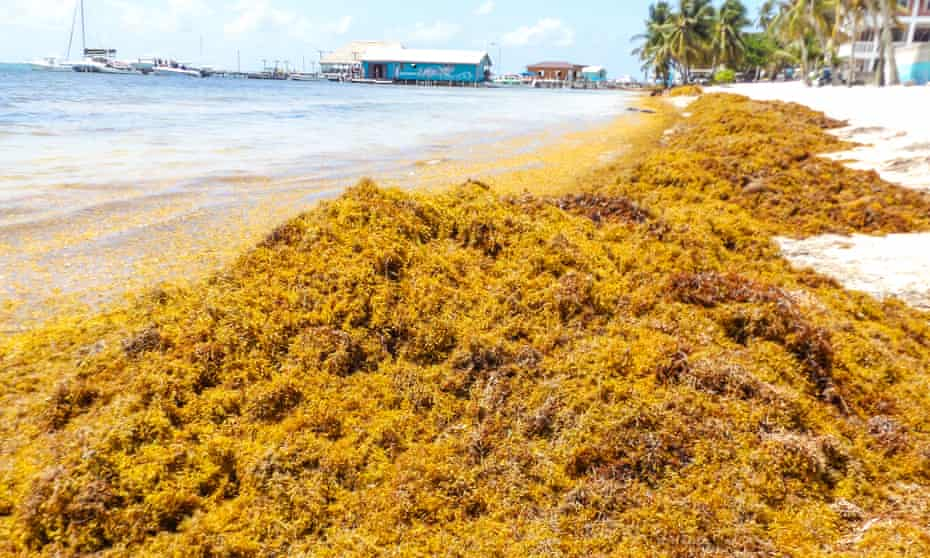 Sargassum in Placencia, Belize