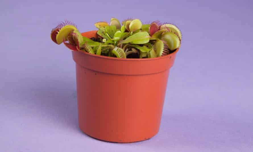 Dionaea muscipula venus flytrap, £8.50, OFM Christmas gift guide Observer Food Monthly