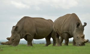 Two female northern white rhinos