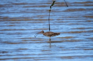 An eastern curlew catching prey as it wades through incoming tide in Cairns, Australia.