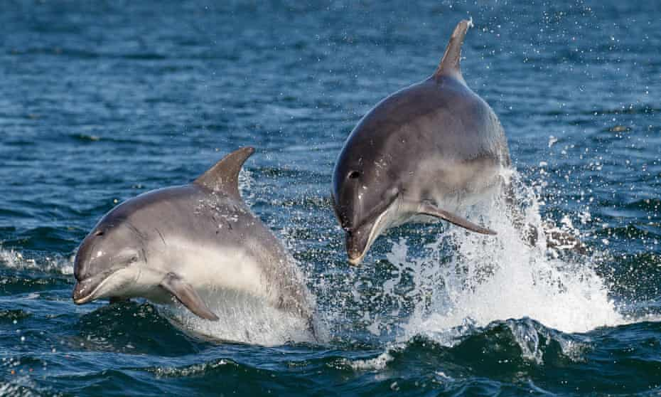 Two Bottlenose Dolphins Jumping in the Moray Firth