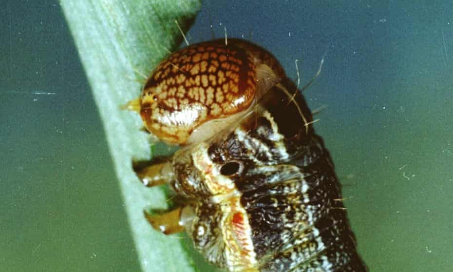 The spodoptera frugiperda or fall armyworm arrived in Africa early last year.