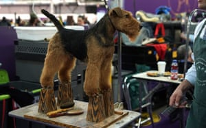 A Welsh Terrier stands in the benching area during the Daytime Session in the Breed Judging across the Hound, Toy, Non-Sporting and Herding groups at the 143rd Annual Westminster Kennel Club Dog Show