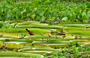 View of birds on Victoria cruzianas, a species of the Nymphaeaceae family of water lilies.