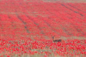 British seasons category: Kevin Sawford, 'Roe Deer in four Seasons'. Roe deer (<em>Capreolus capreolus)</em> female in a poppyfield, Suffolk, July