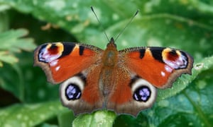 John Showers captured this peacock butterfly in his garden in Northants.