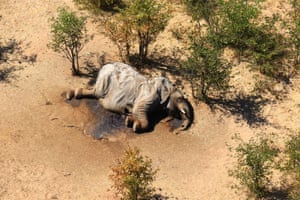 The carcass of one of the many elephants which have died mysteriously in the Okavango delta in Botswana