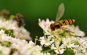 Marmalade hoverfly (Episyrphus balteatus) on cow parsley