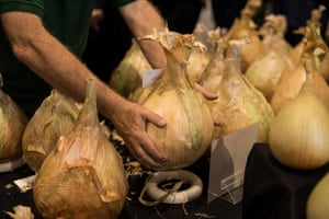 Show staff manoeuvre large onions to be weighed