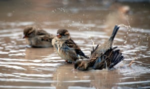 """""""Passer birds in the Jordan valley<br>epa05688685 Passer birds enjoy water in a farm in the Jordan valley East of Nablus City, 26 December 2016. Passer is a genus of sparrows, also known as the true sparrows. It is one of the most common birds in the world.  EPA/ALAA BADARNEH"""""""