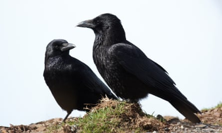 A pair of carrion crows
