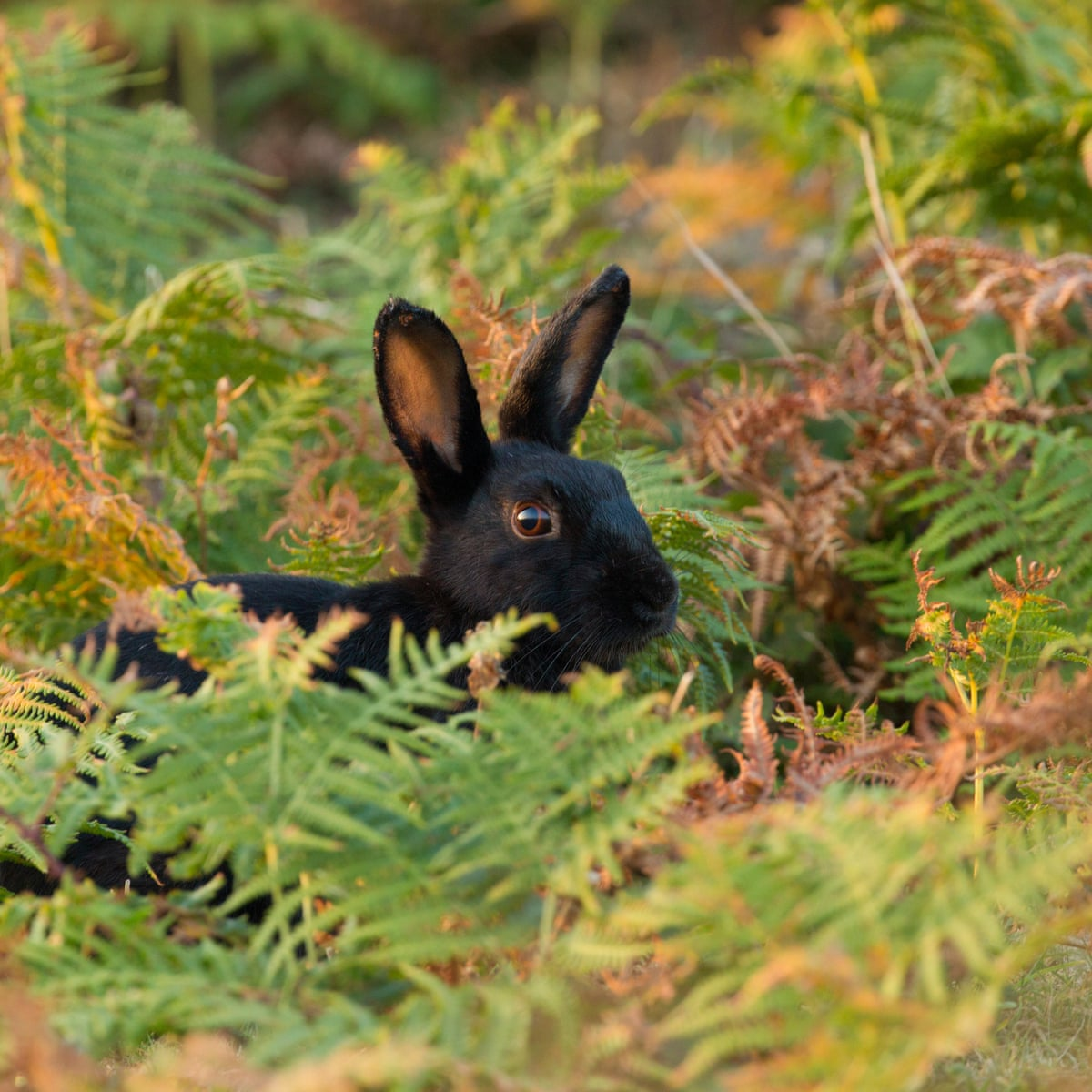 Country diary 1919: black rabbits in the wild | Animals | The Guardian