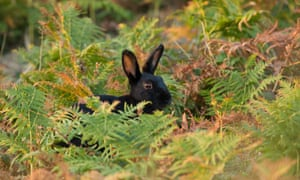 Black rabbit (Oryctolagus cunniculus) in bracken, Isles of Scilly.