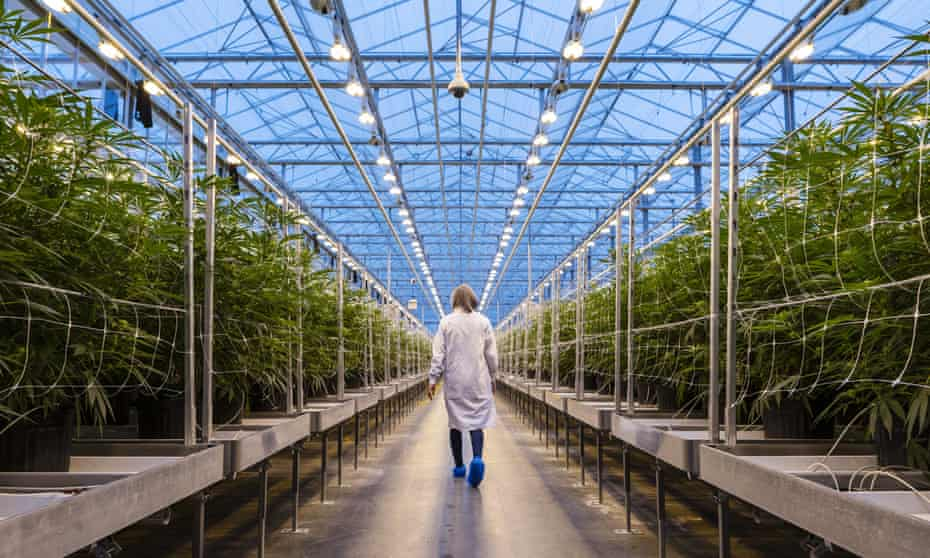 The grass is always greener… rows of cannabis plants growing in a greenhouse at the Hexo facility in Gatineau, Quebec.