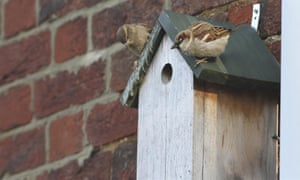 Pair of house sparrows Passer domesticus, visiting a traditional wooden nest box, Gamlingay, Cambridgeshire.