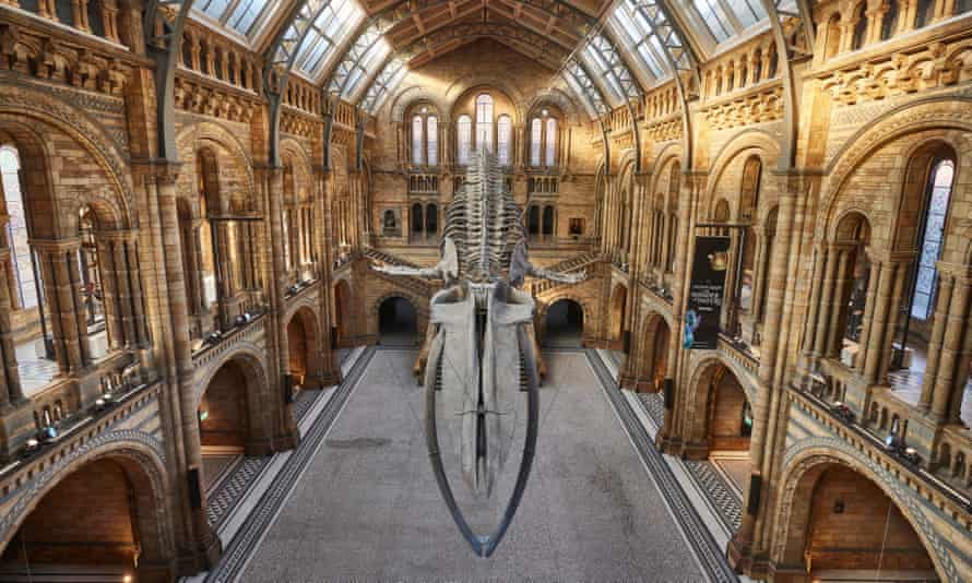 The blue whale skeleton at the Natural History Museum in London