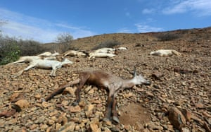 Carcasses of goats are seen near Jidhi town in Awdal, Somaliland, in April. Across the Horn of Africa, millions of people have been affected by drought
