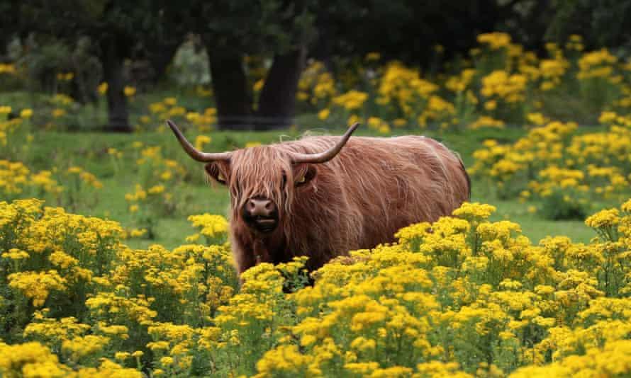 A highland cow grazes in a field near Pitlochry, Scotland.