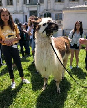 Lorenzo (Zoe) the llama at Berkeley.