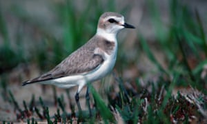 A Kentish plover.